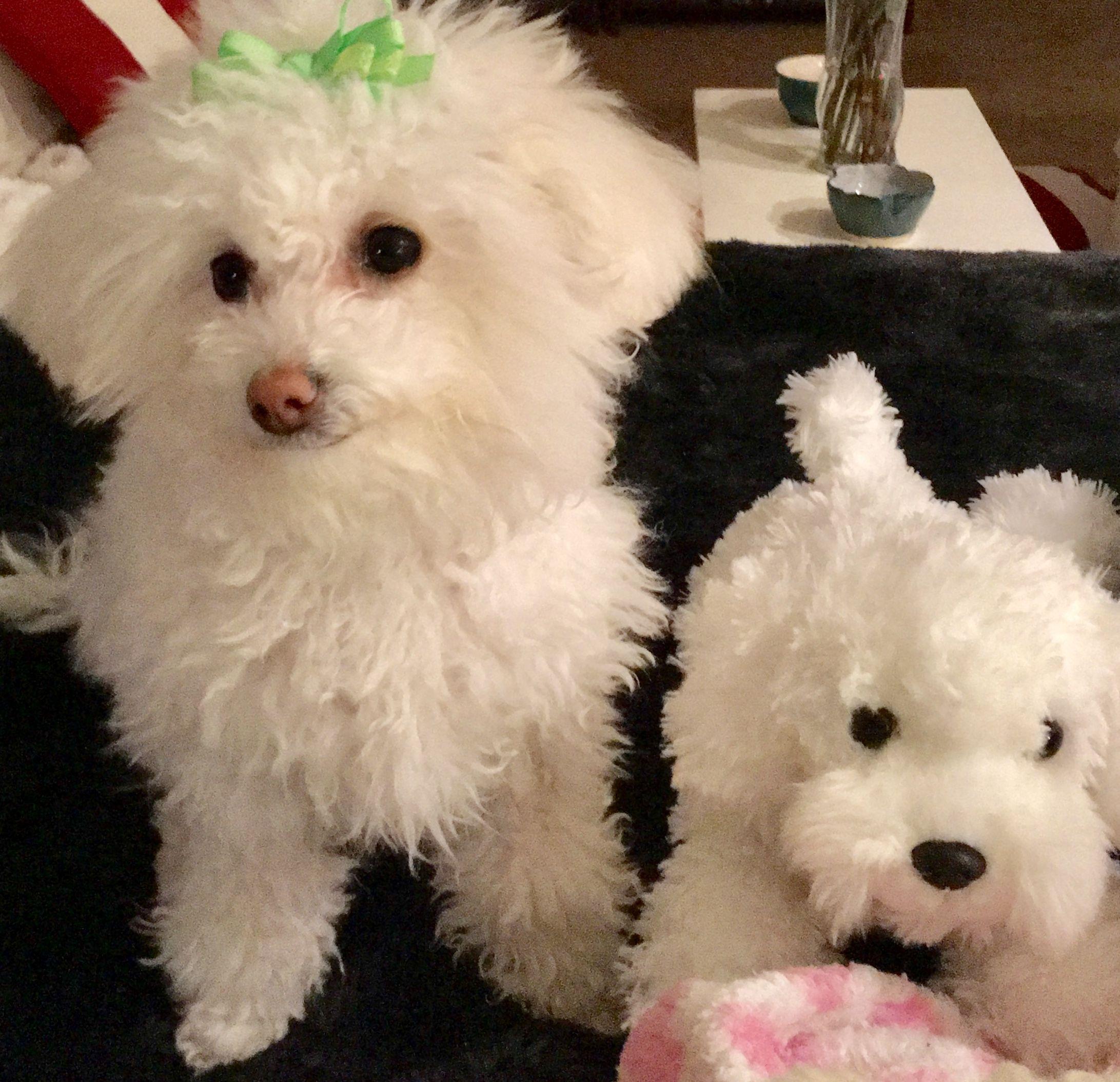 Designer Breed Half Toy Poodle And Half Maltese She S A