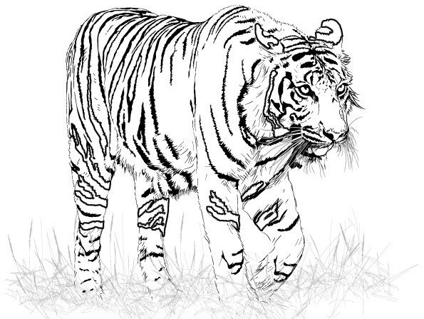 tiger-coloring-pages-fish-pictures-free-book-142341.jpg (595×447 ...