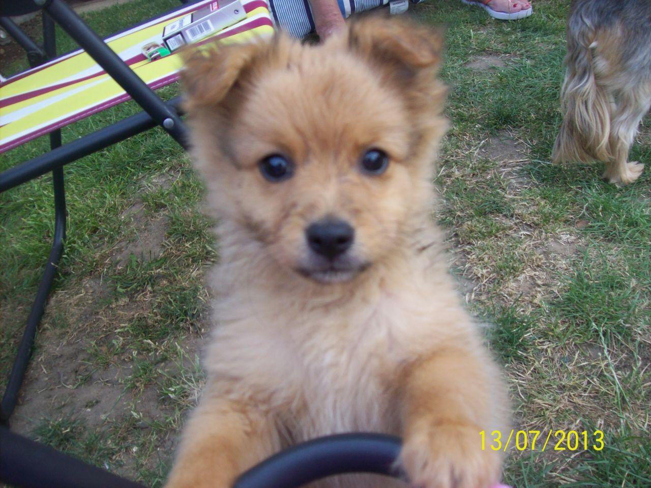 Pom X Chi Pomchi Cute Animals Dogs Puppies Cute Puppies