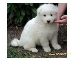 Samoyed puppy price in delhi,Samoyed puppy for sale in