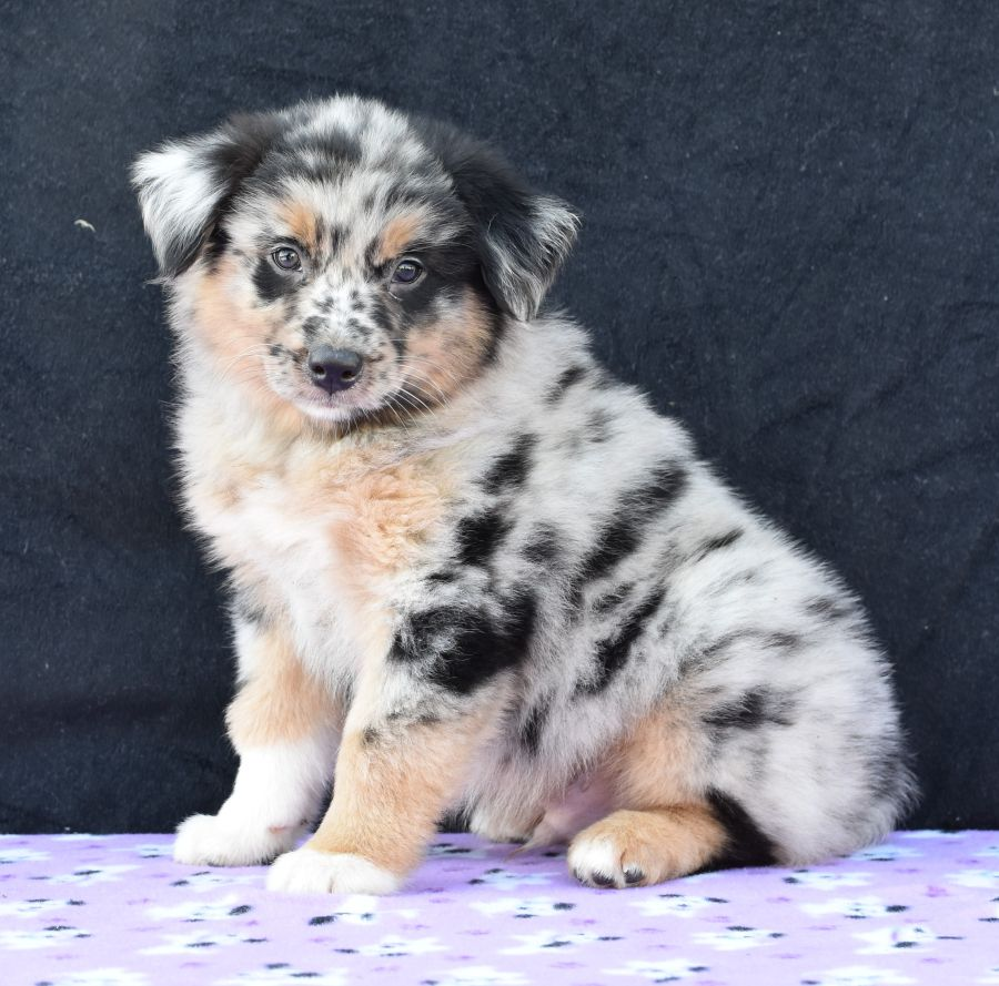 Australian Shepherd Puppies for Sale Cute animals