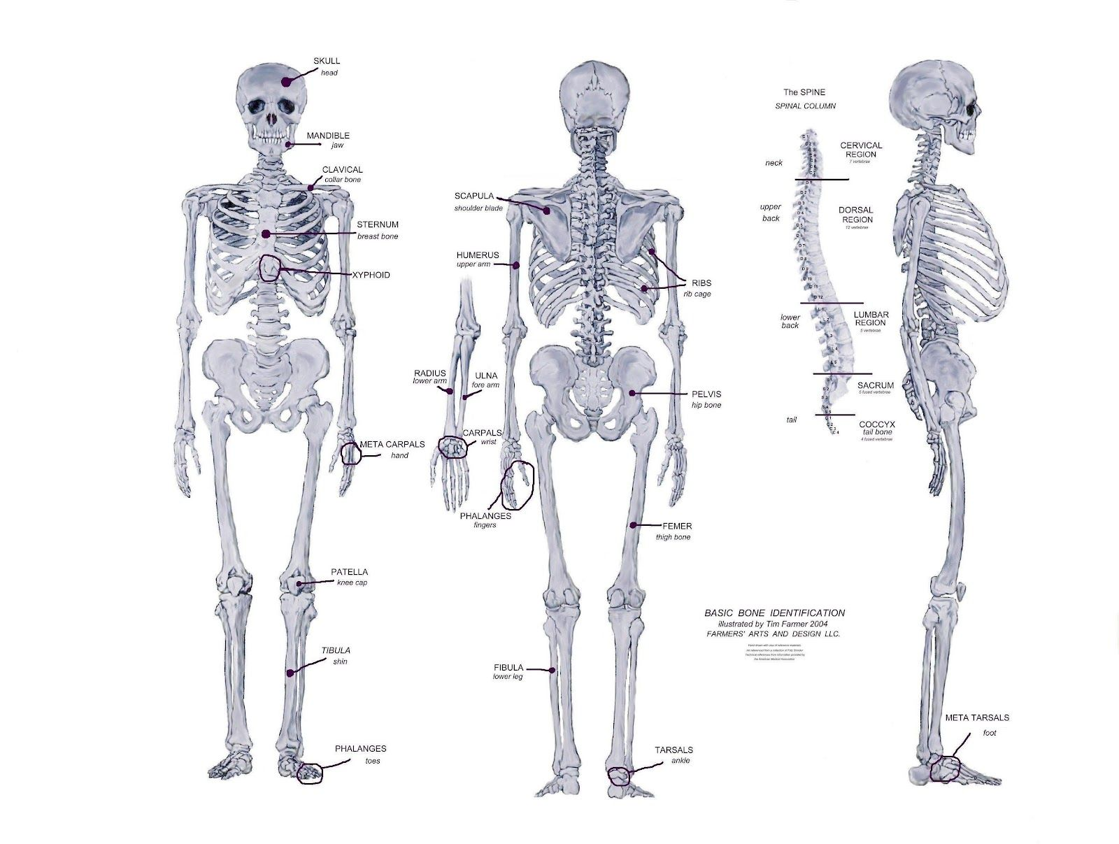 Bones Of The Human Body Facts About Bones Of Human Body The