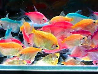 Colored white skirt tetra: We've got a pink, orange, yellow