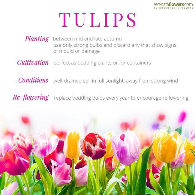 tulips serenata flowers