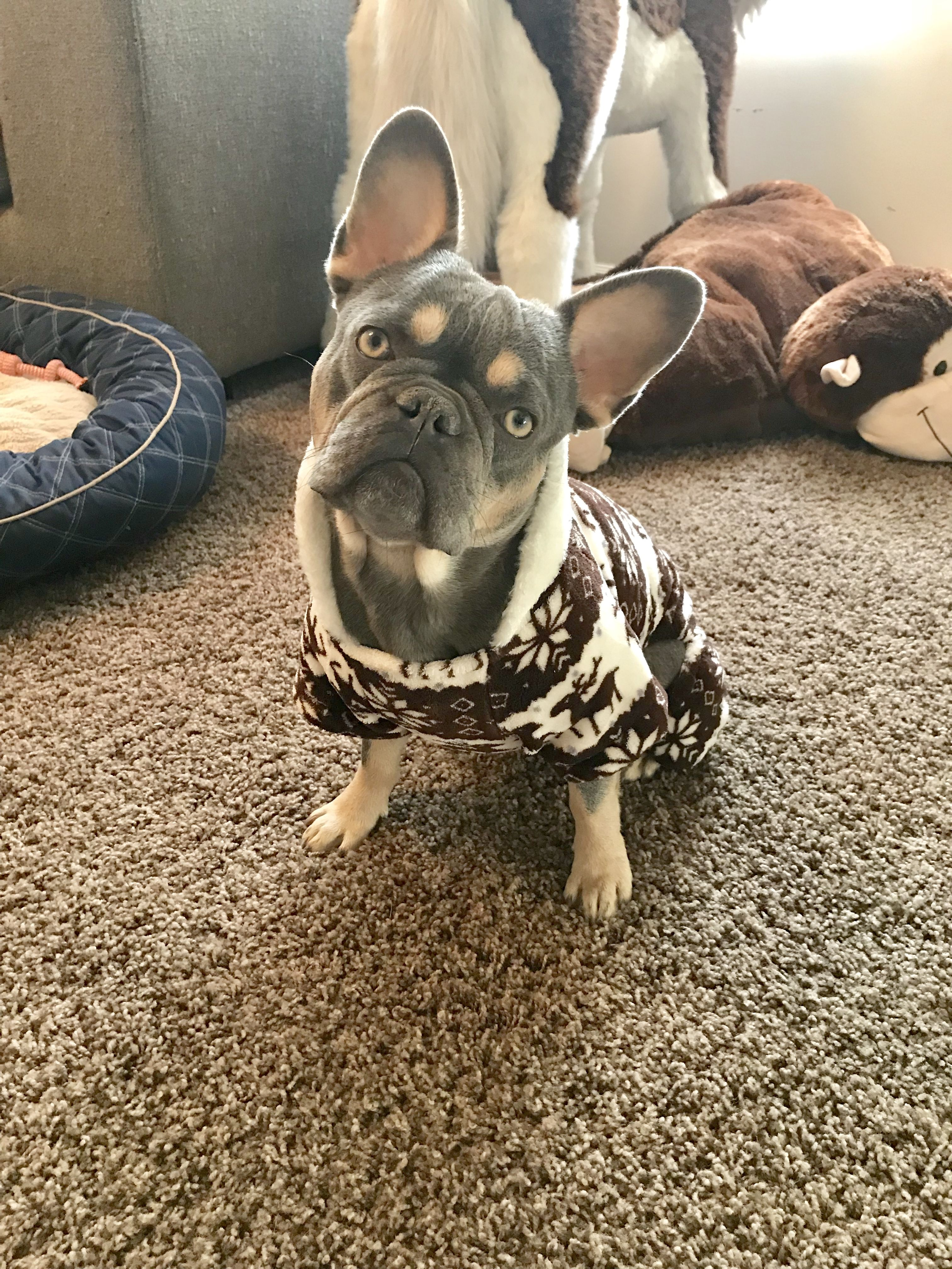 Lilac And Tan French Bulldog Www Intermountainfrenchies Weebly Com