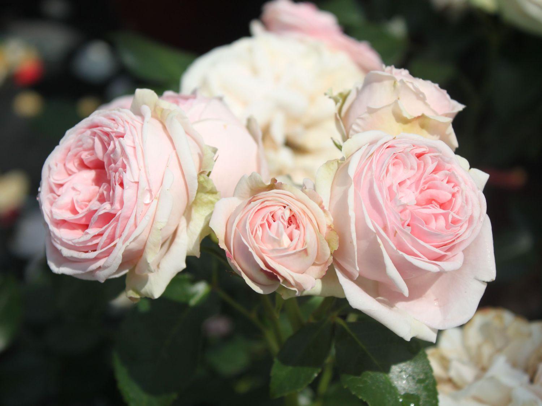 kletterrose 39 giardina 39 rosa 39 giardina 39 rosen pinterest gardens and flowers. Black Bedroom Furniture Sets. Home Design Ideas
