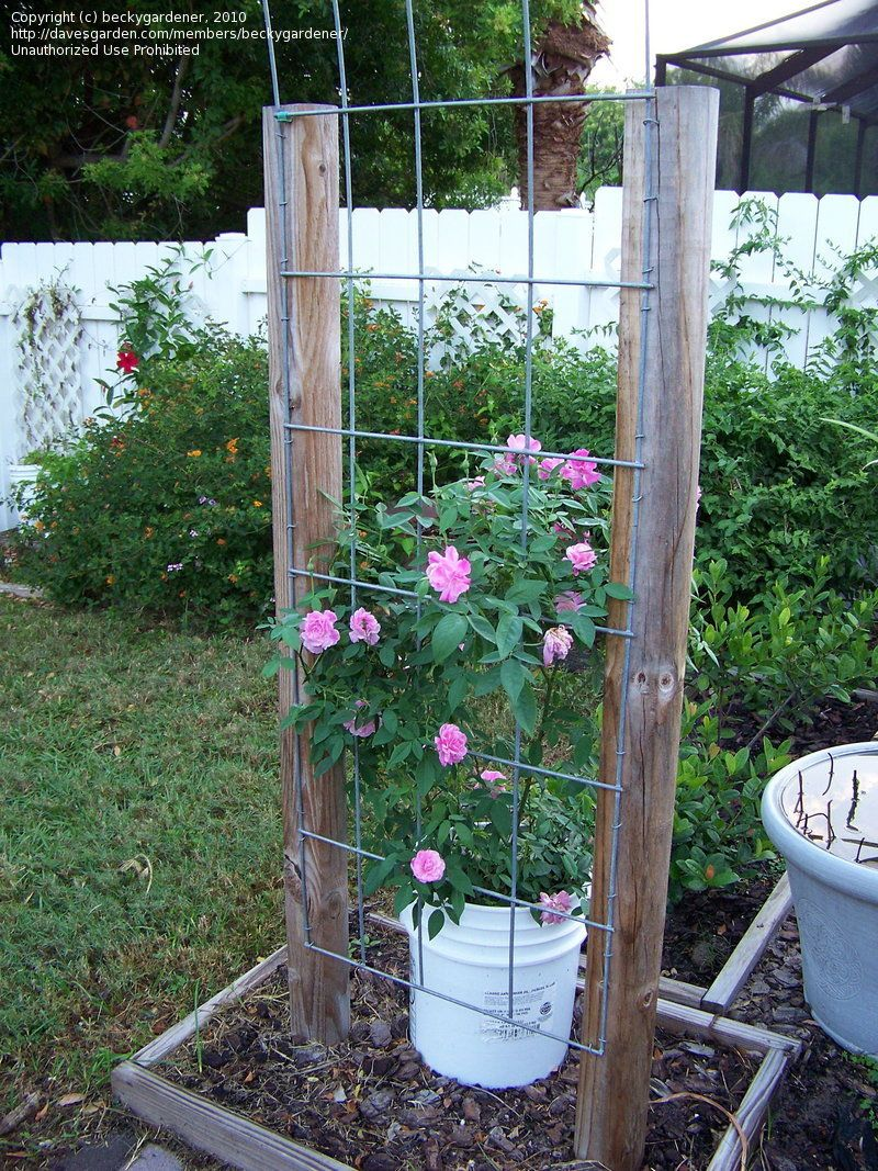 Roses Can You Grow Climbing Roses In Containers 1 By