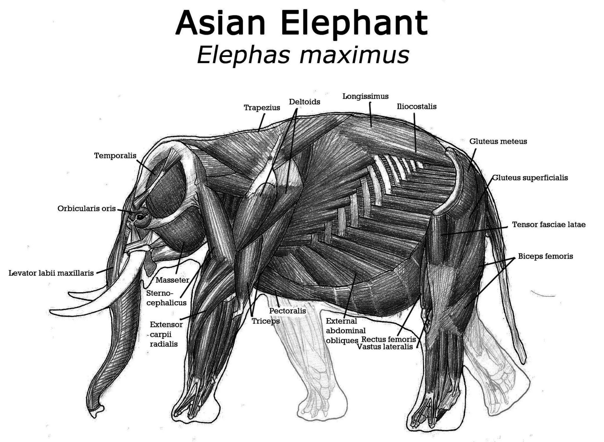 african elephant compared to asian elephant - Google keresés ...