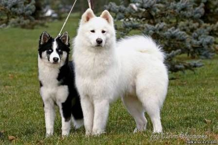 Yakutian Laika Dogs The Yakutian Laika Is A Working Dog Breed