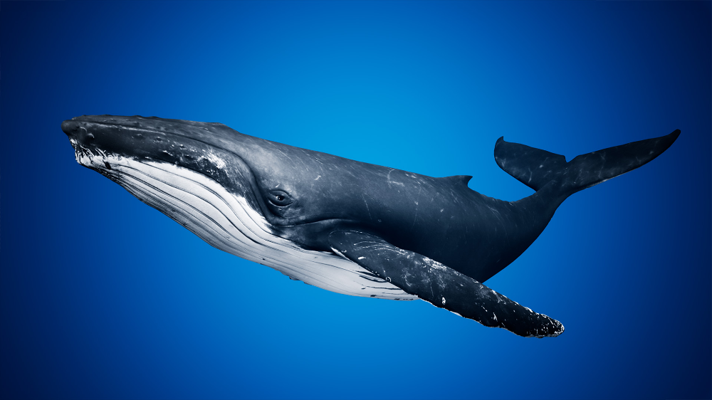 Humpback Whale By Davis3d In Characters Ue4 Marketplace Humpback Whale Whale Whale Painting
