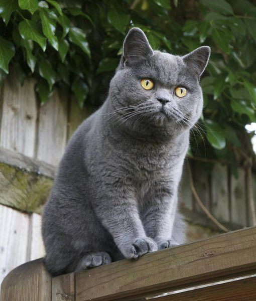British Shorthair The British Shorthair Is The Pedigreed Version