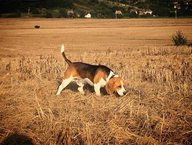 The Do S And Don Ts Of Beagle Hunting Beagle Hunting Beagle
