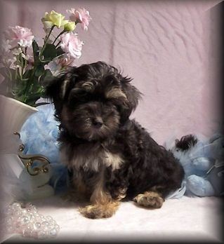 Maltipoo Phantom Maltipoo Puppies Black Tan Maltipoo Puppy