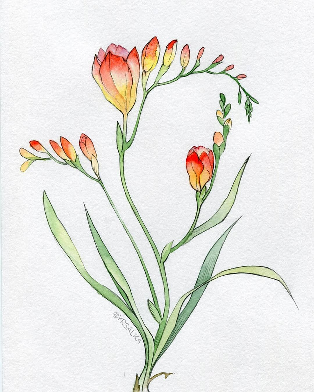 Freesia Botanical Illustration Fresia Fresias Flowerart Flower Flowerinstagram Floralprint Plant Re Art Nouveau Flowers Flower Art Floral Watercolor