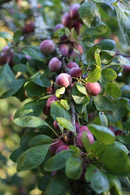 Plumtree // Luumupuu