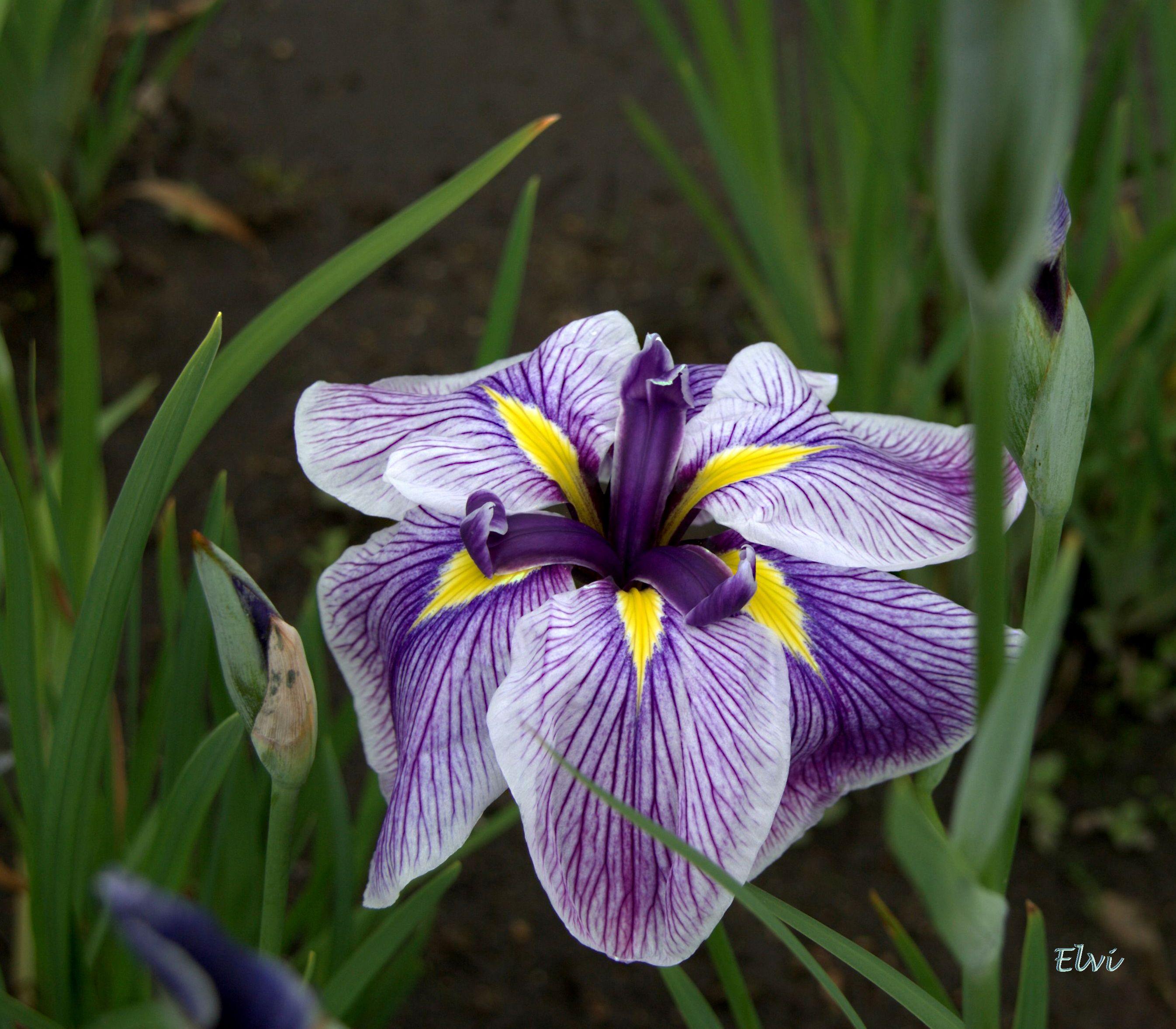 Iris Royal Pageant Jardin Des Iris La Beaujoire Nantes France Magical Garden Flowers Plants