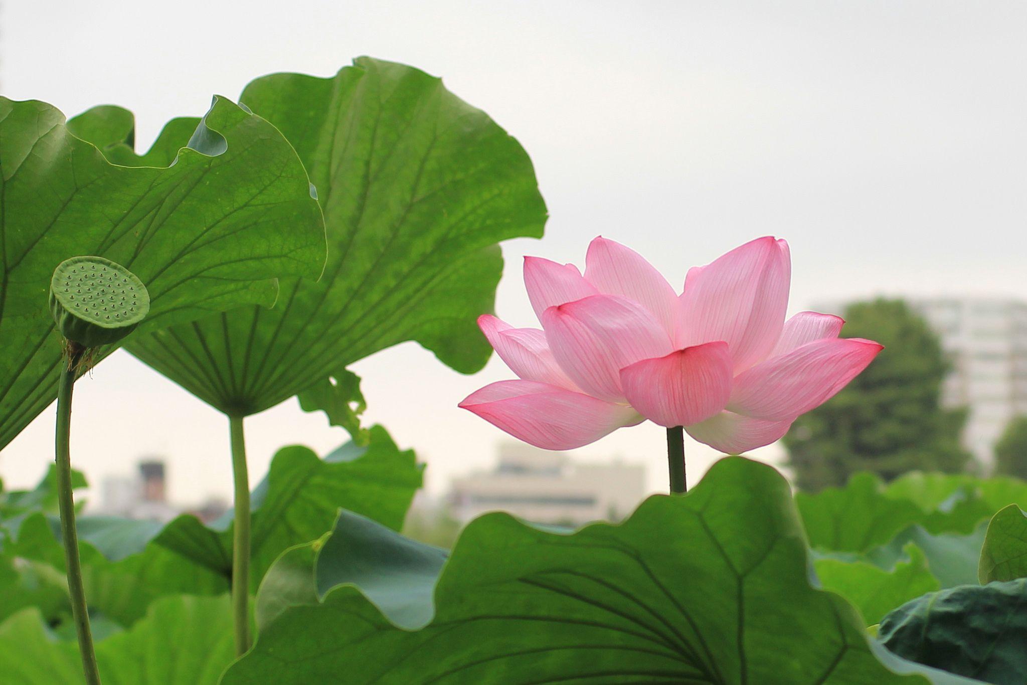 Lotus flower lotus pond and flowers lotus flowers pond buddha lotus blossoms izmirmasajfo