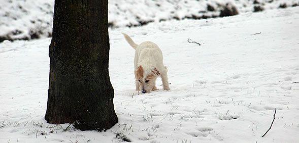 Unsere Parson Russell Terrier Hündin Phoebe liebt Spaziergänge im Schnee