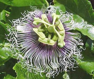 Passiflora Red Giant 10 Seeds Purple Passion Flower Flowers Perennials Flowering Vines