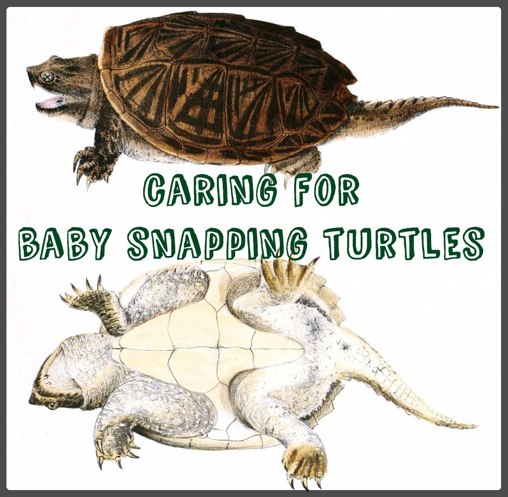 How to care for baby snapping turtles snapping turtle