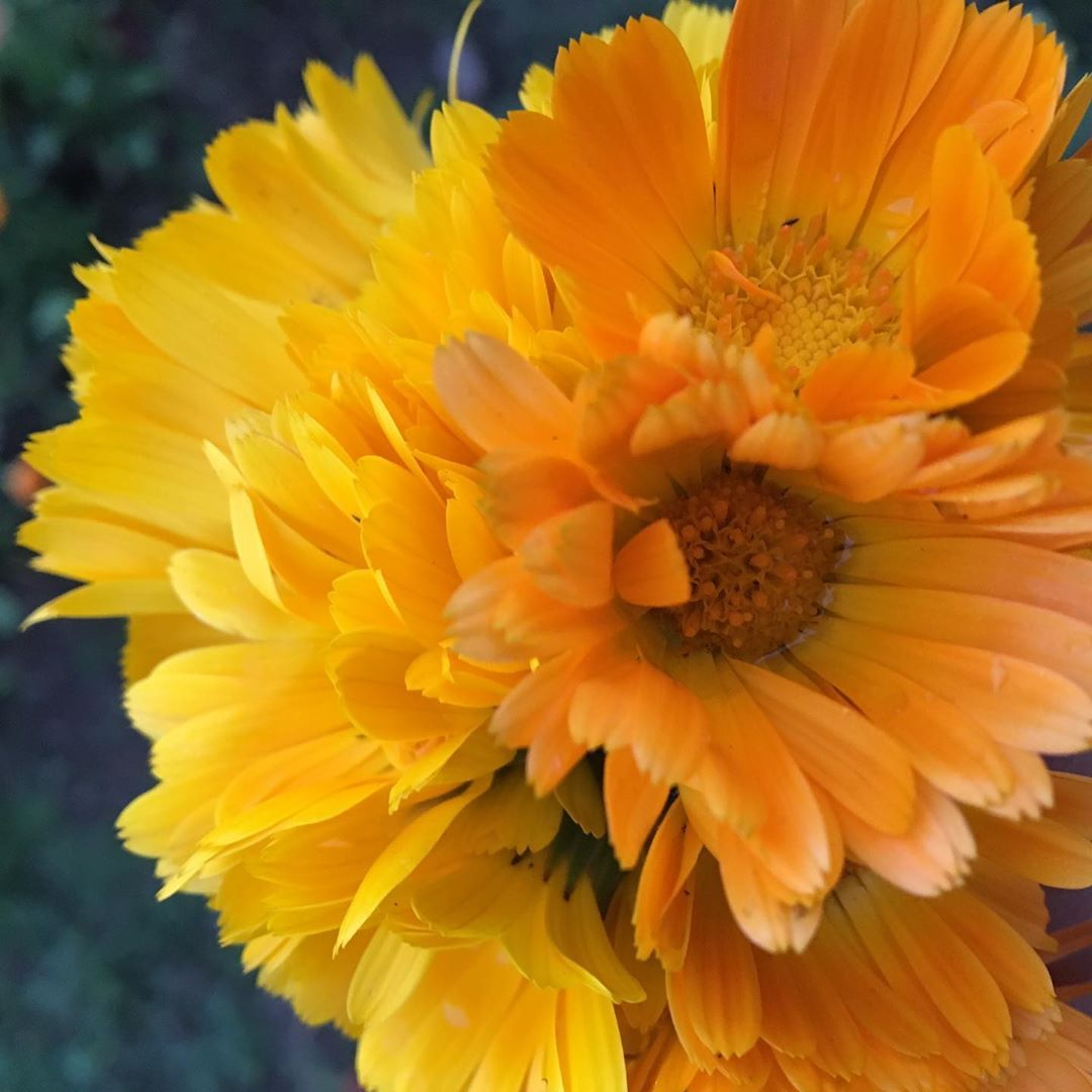 "BloomyBliss on Instagram: ""Beautiful calendula #calendula #flower #flowers #indiaflower #indiaflorist #flowerlovers #flowerlover #flowerlove #flowerphotography…"""