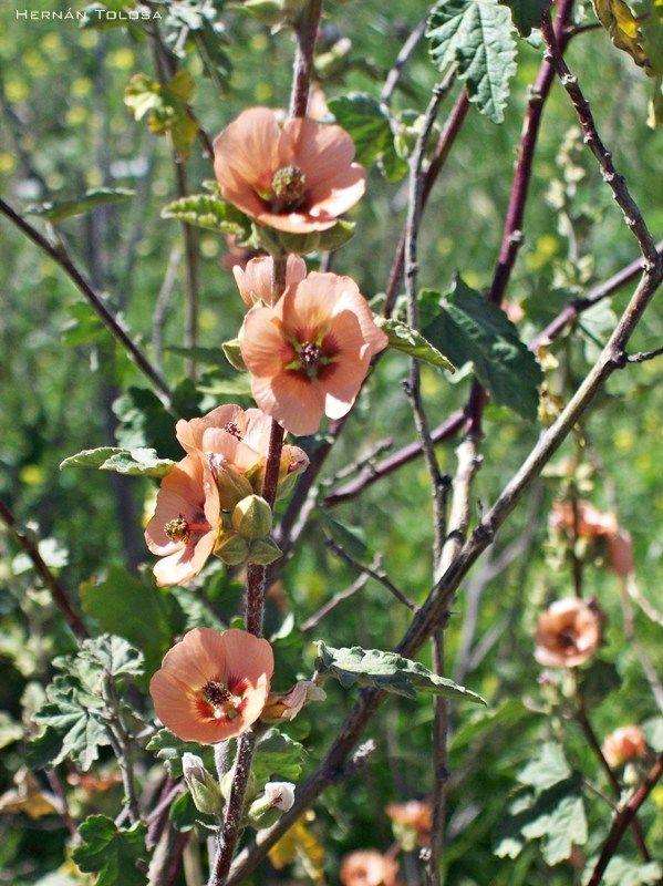 Malvavisco (Sphaeralcea bonariensis) (con imágenes
