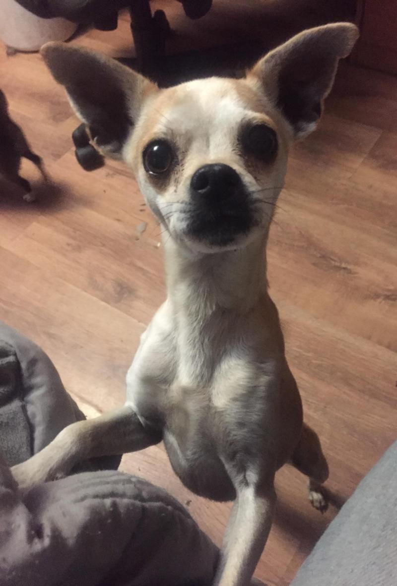 Adopt Figgy On Petfinder French Bulldog Mix Italian Greyhound Humane Society