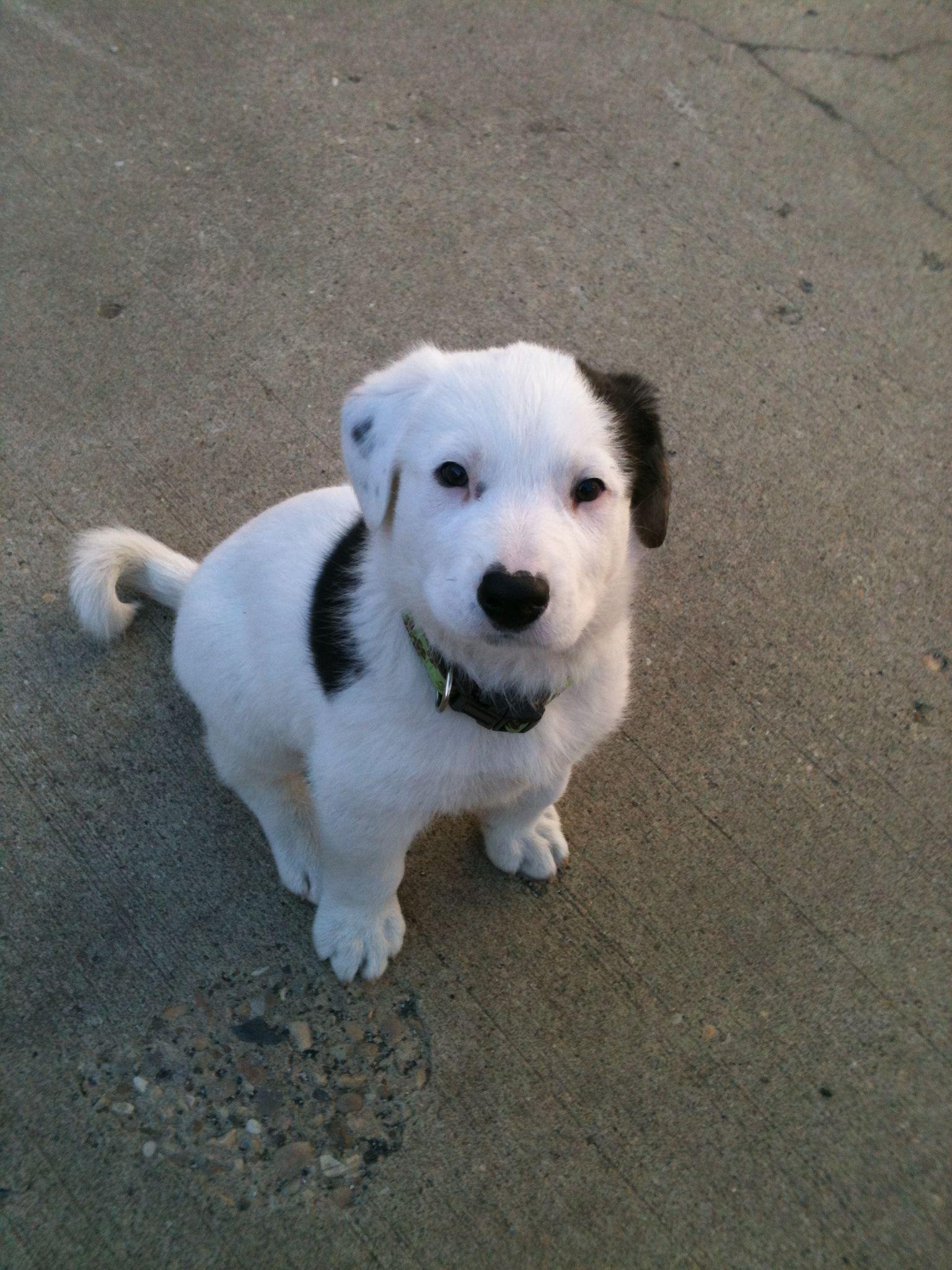 Half Border Collie Half St Bernard Puppy Animal Lover Cute Animals Puppies