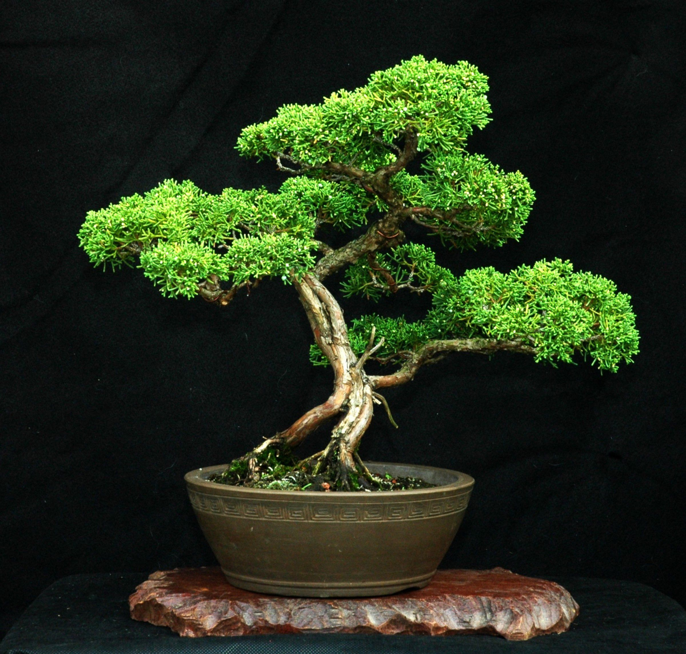Shimpaku Juniper Bonsai.