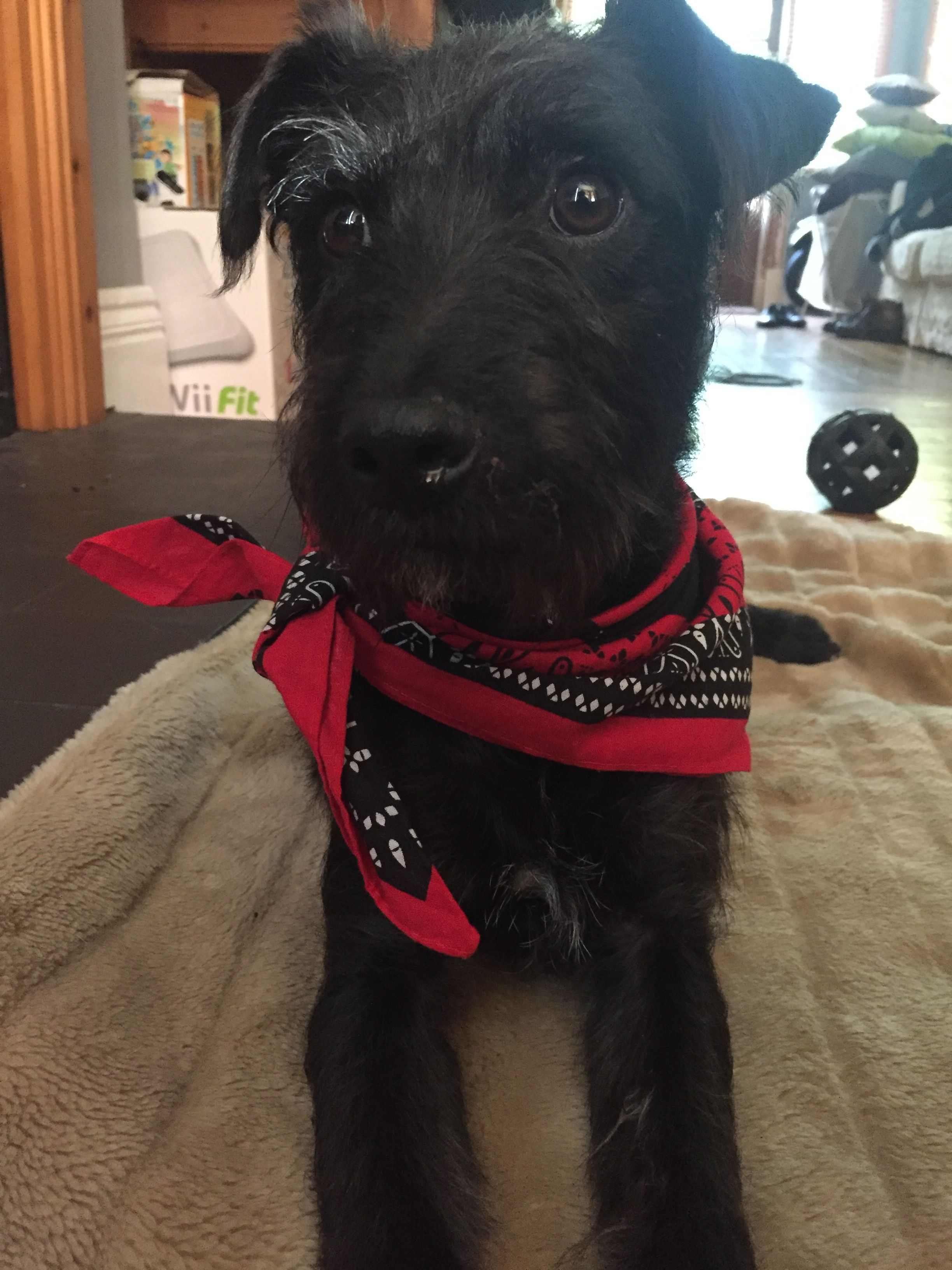 Our Patterdale With His Carhartt Bandana To Celebrate His Arrival