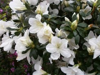 Departments Azalea White Lace 5 Azaleas Garden Azaleas Plant Catalogs