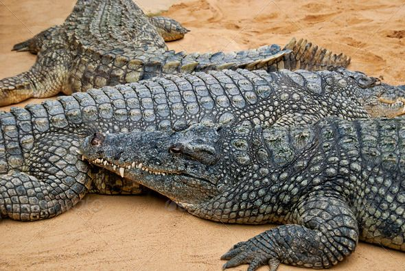 Crocodiles lying next to each other on sand