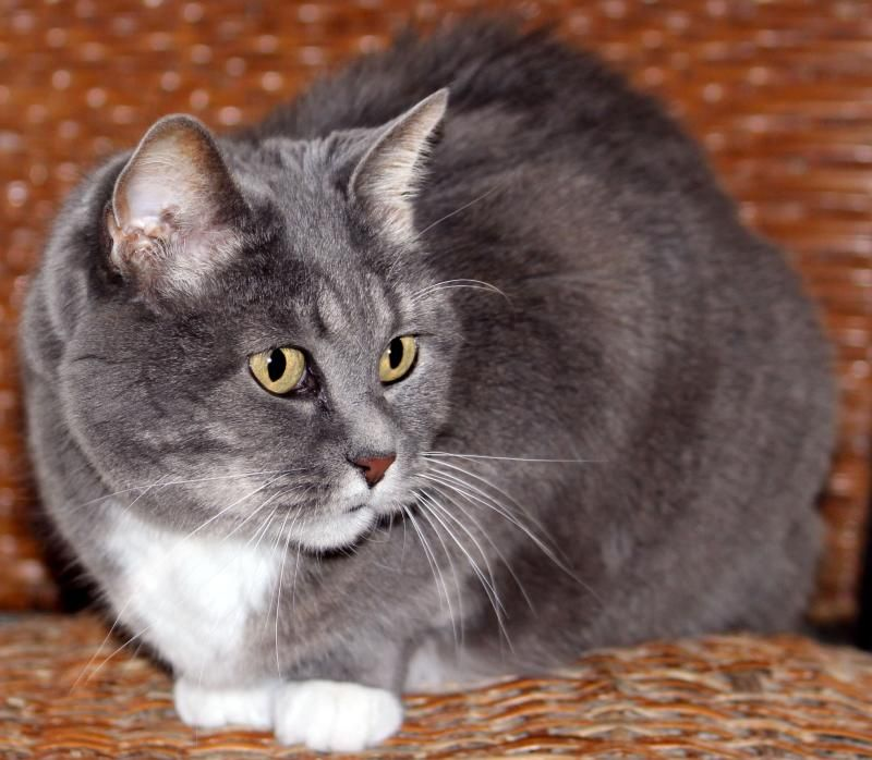Adopt Aly On Grey And White Cat Cats Animal Rescue