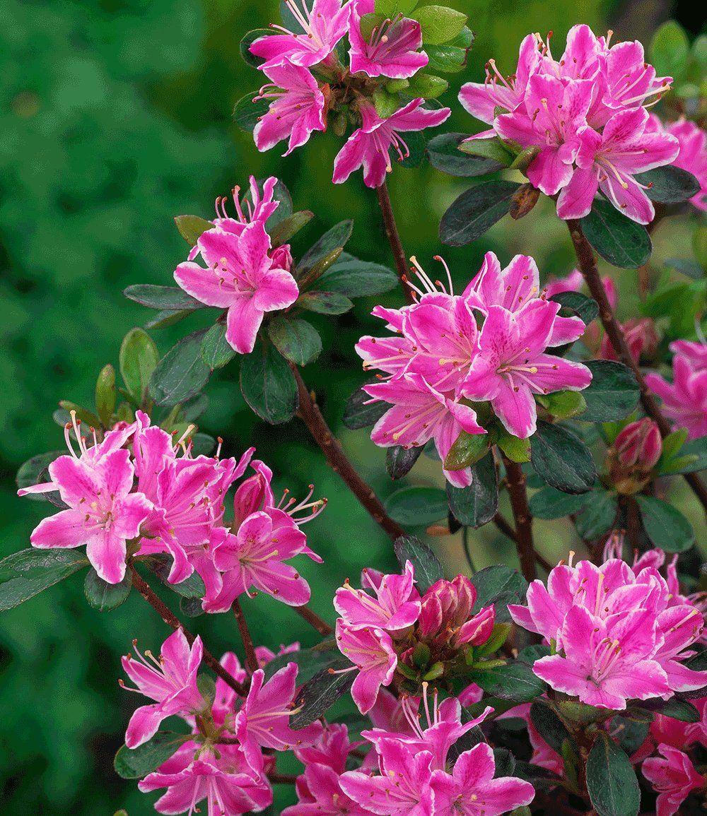 Rhododendron Kermesina Rose 1a Qualitat Kaufen Baldur Garten Garten Rosafarbene Bluten Hecke Pflanzen