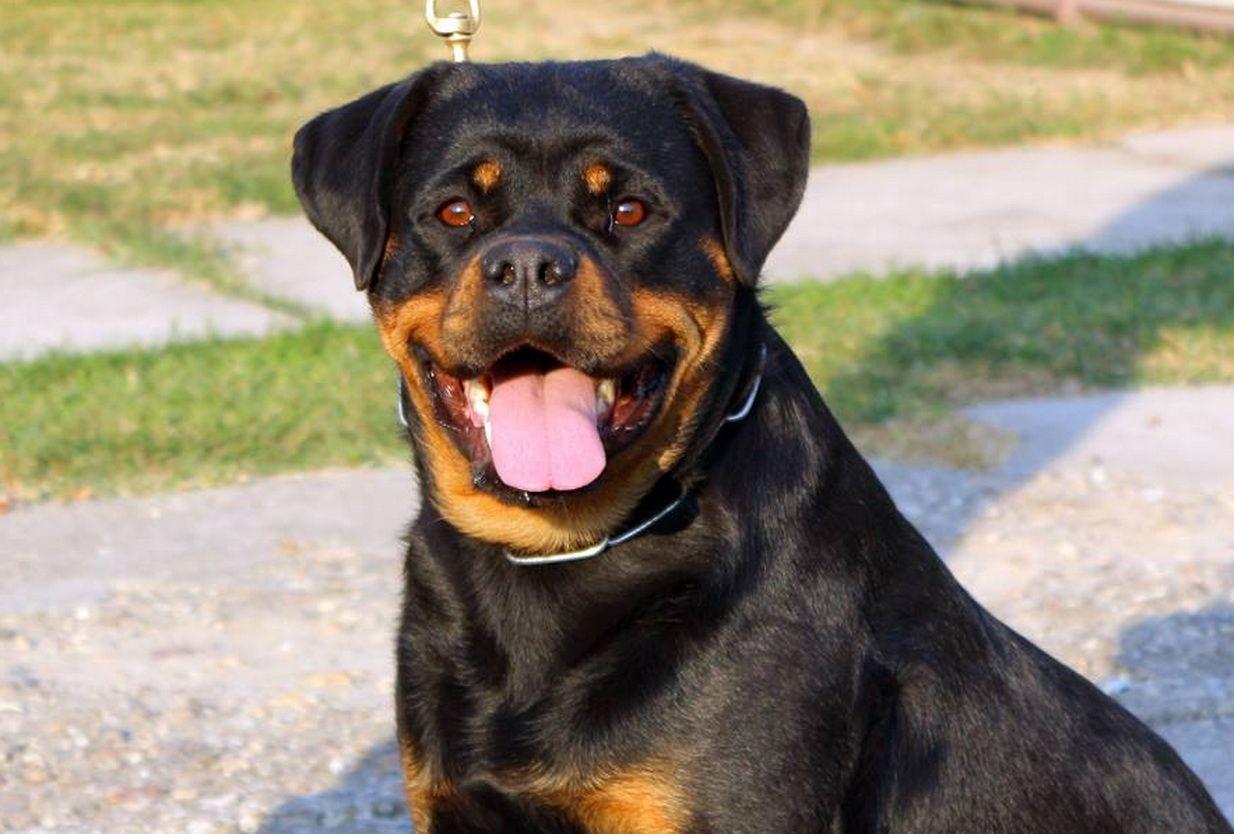Yawa Von Kelemen Puppies Rottweiler Puppies Rottweiler Dog