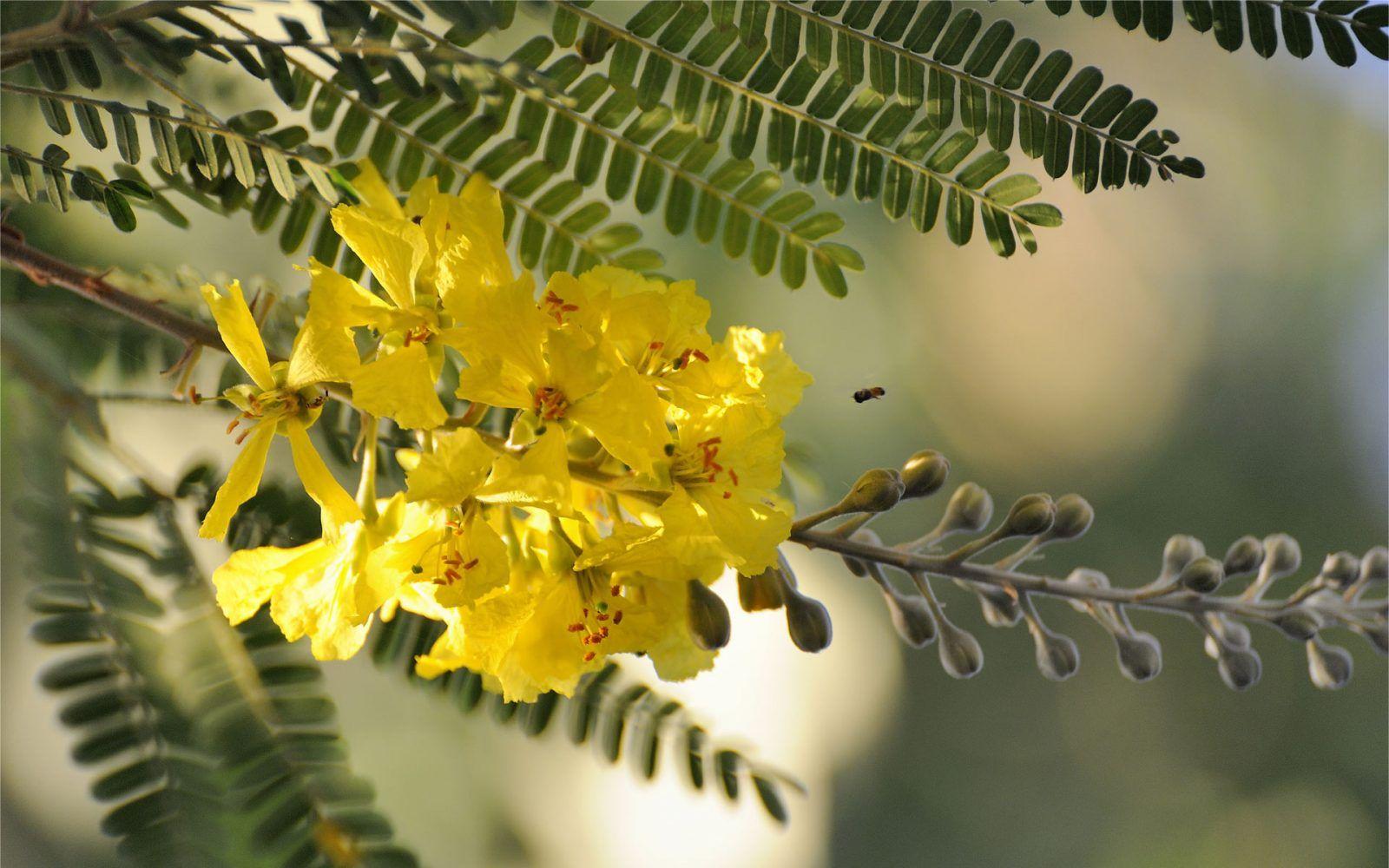 acacia elegancia significado de la flores pinterest flowers