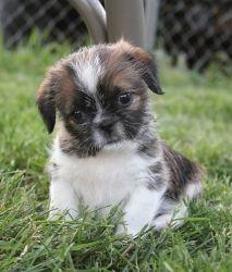 I Found Gizmo On Shih Tzu Dog Shih Tzu Puppy Cute Animals