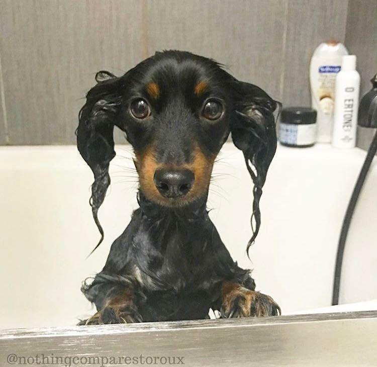 Bath Hair Instagram Nothingcomparestoroux Dachshund Dachshund Dog Dachshund Lovers Funny Dachshund