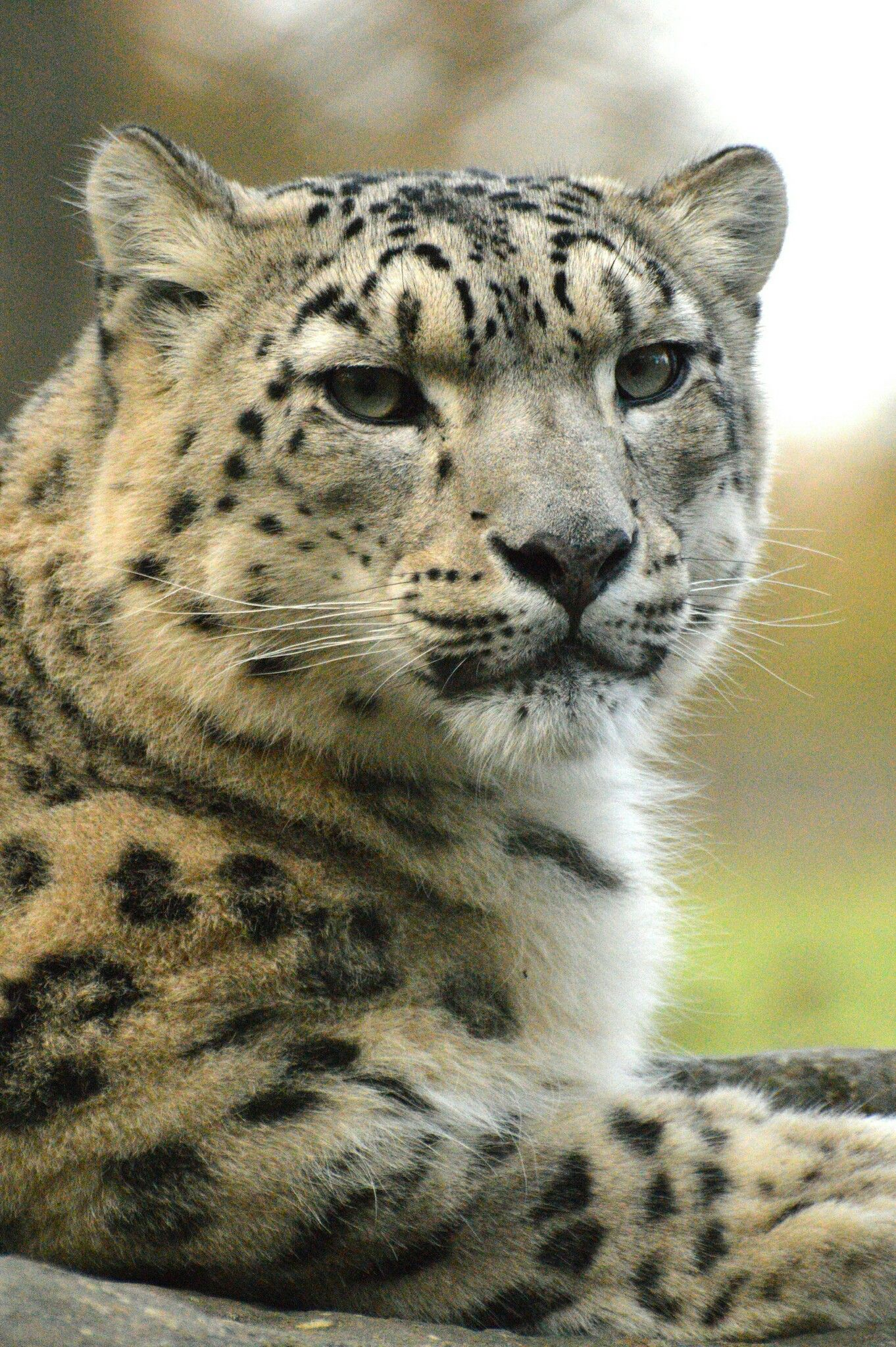 Pin by Christina DeAnn on SNOW Leopard Toy dog breeds