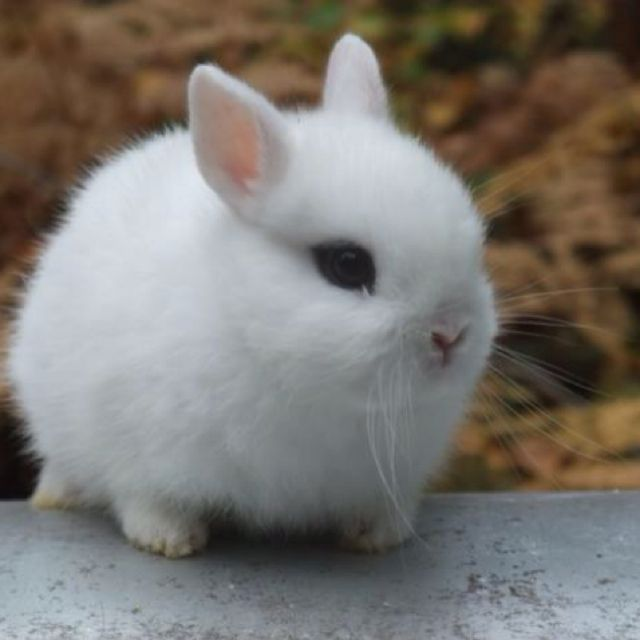 Hotot Dwarf Rabbit I D Name Him Spike Cuz He So Tough Dwarf
