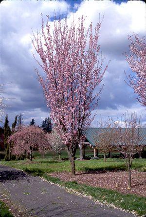Prunus Sargentii Columnar Sargent Cherry Backyard Trees Small Trees For Garden Columnar Trees
