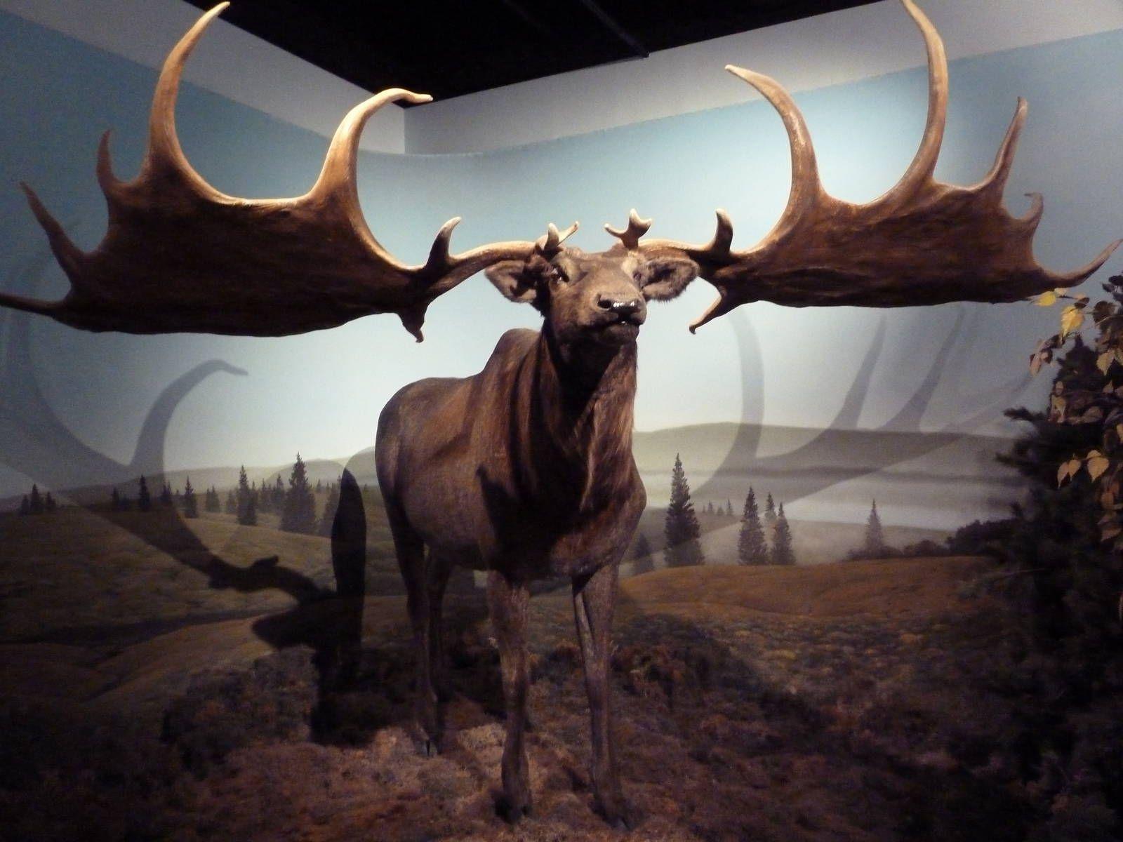 Prehistoric Mammals - Giant Deer » International Wildlife ...