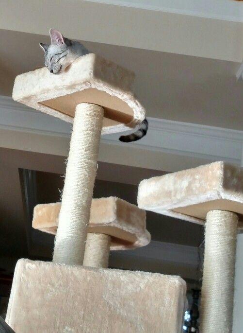 bodiless cat.... #Cassiethekitten  #EgyptianMau  #SilverEgyptianMau  #egyptianmausoftwitter  #egyptianmausofinstagram #egyptianmausoffacebook #catsoftwitter #catsofinstagram #catsoffacebook #catsofscope