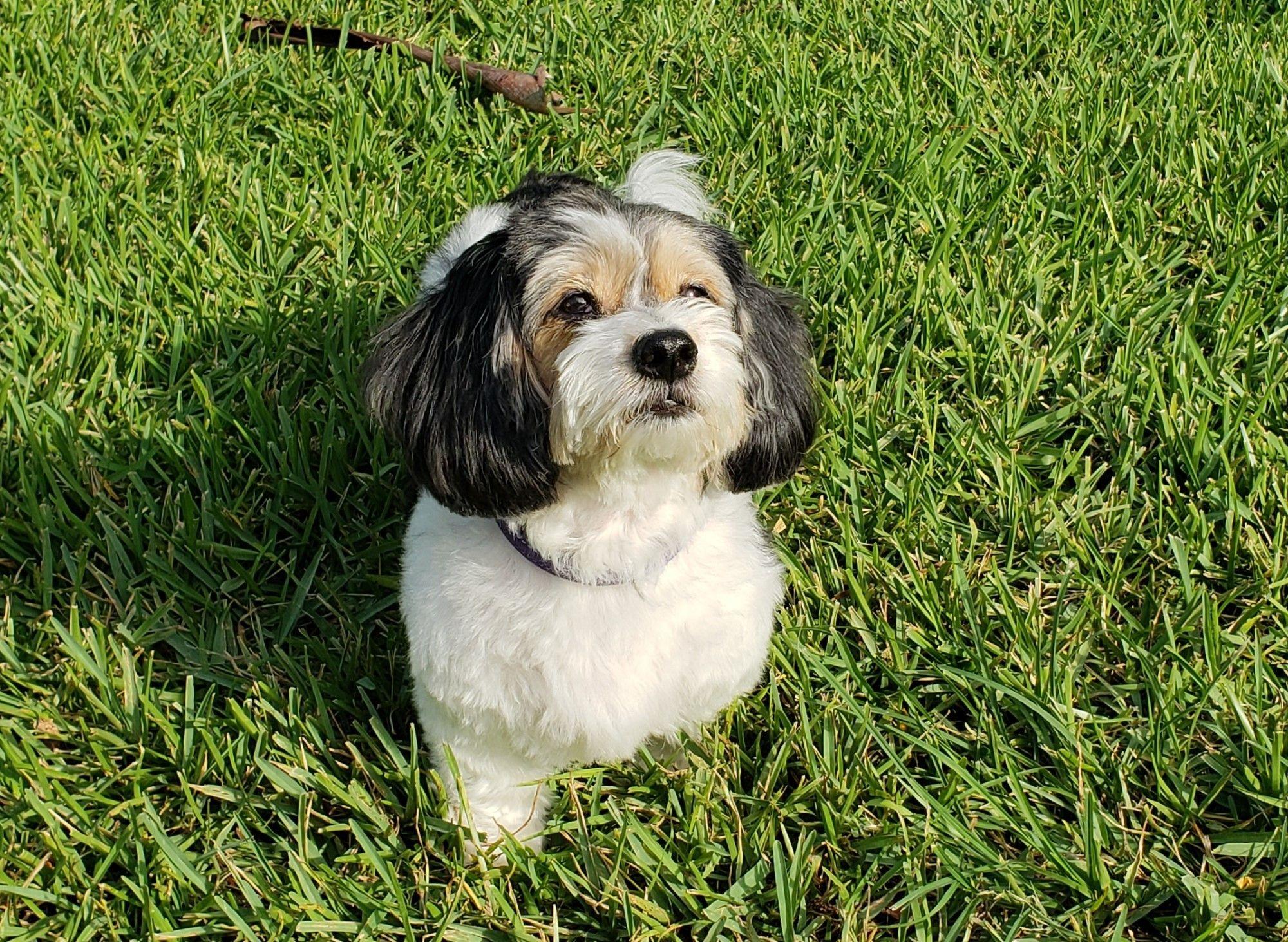 Adopt Trinity On Dachshund Rescue Adoption Dogs