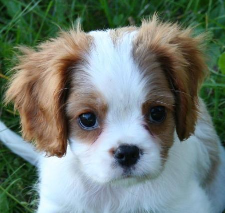 cavapoo full grown google search puppy love