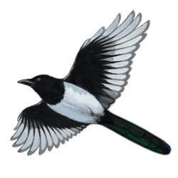 black billed magpie nest
