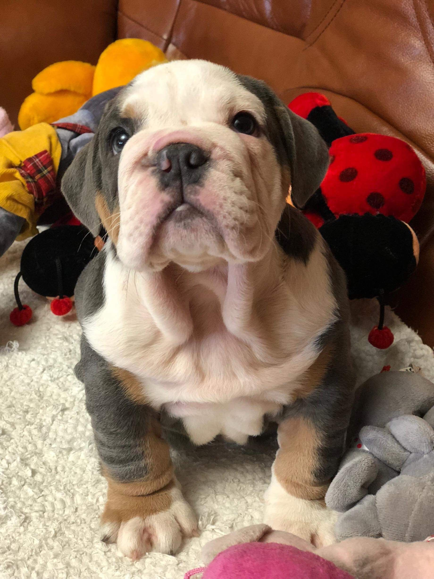 New Little Family Member English Bulldog Bulldoggies Funny