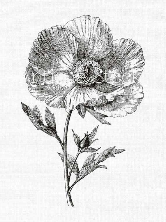 Flower Line Art Drawing 'Matilija Poppy' Botanical Print