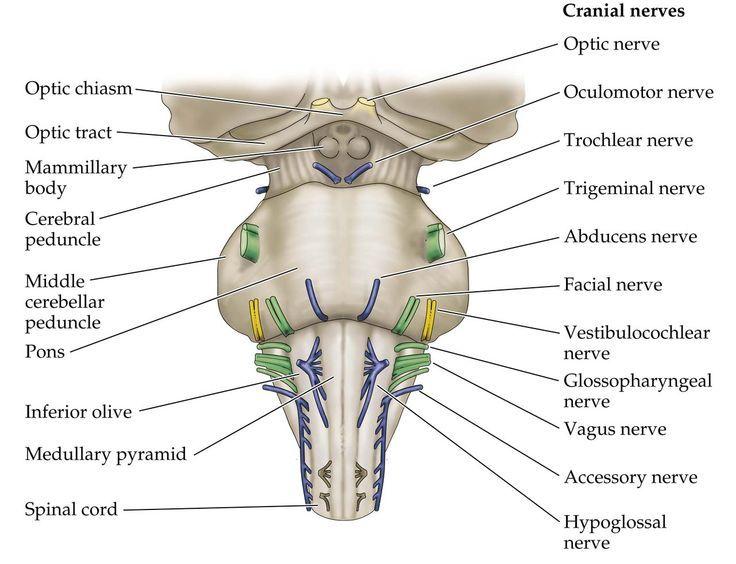 crus cerebri cerebral peduncle - google search | usmle and comlex, Human body