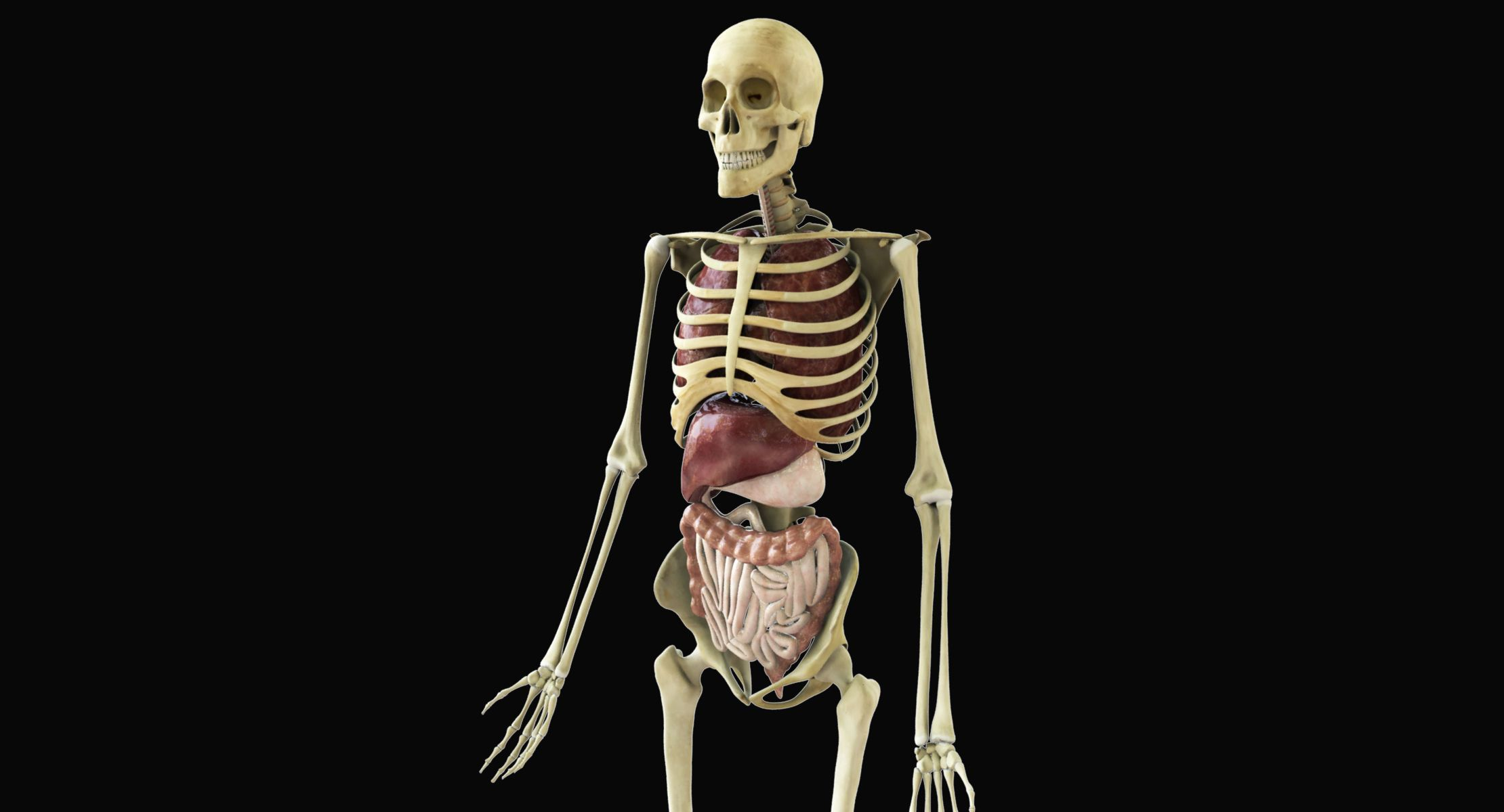 Pin by CGTrader on 3D Characters in 2019 | Human skeleton